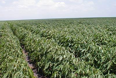 King Ranch Texas >> Farming King Ranch
